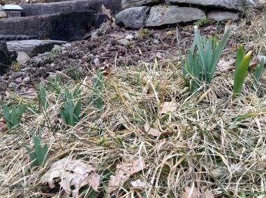 daffodils_mar_11_13