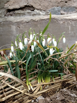 snow drops_mar_11_13